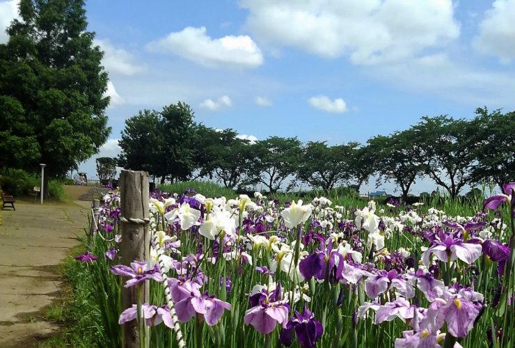 6月 中井沼公園の花菖蒲 橋本美恵子